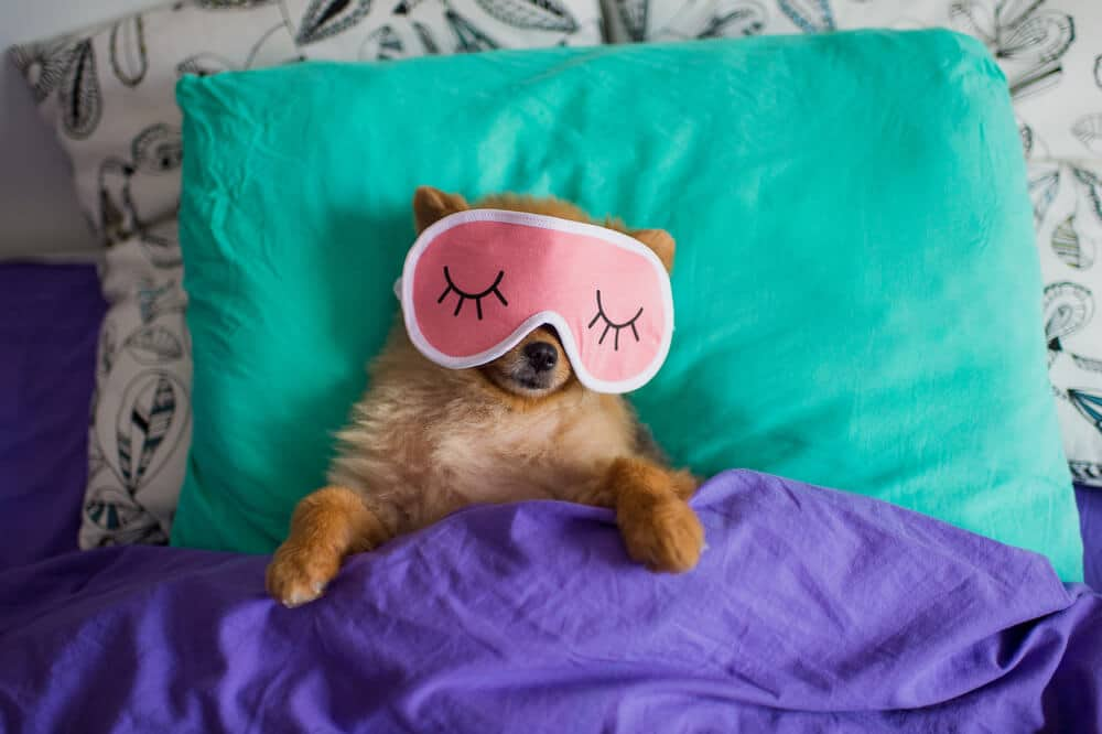 Pomeranian dog in a sleep funny mask is laying on spine on pillows under the blankets with the clutch protruding out of it