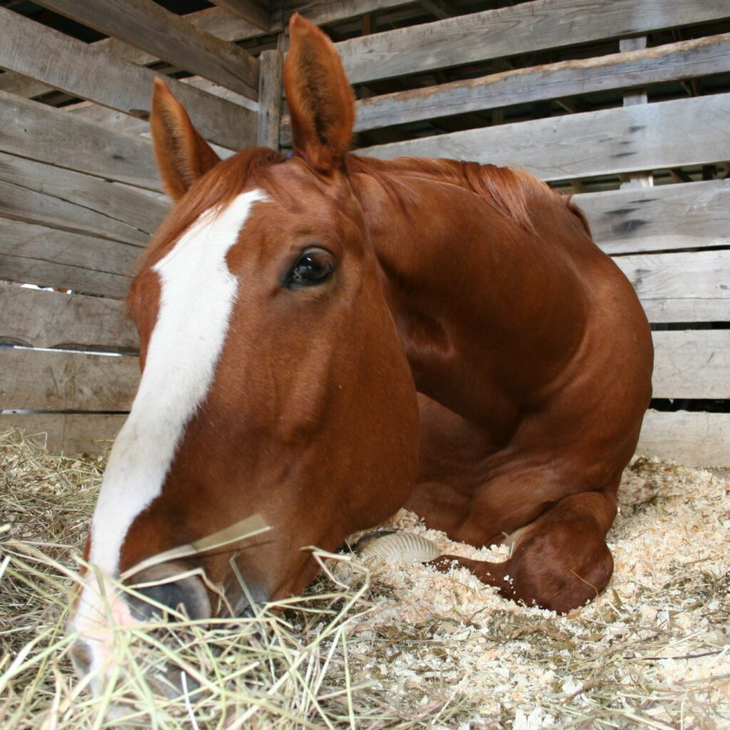 A close-up of a horse laying in hay.